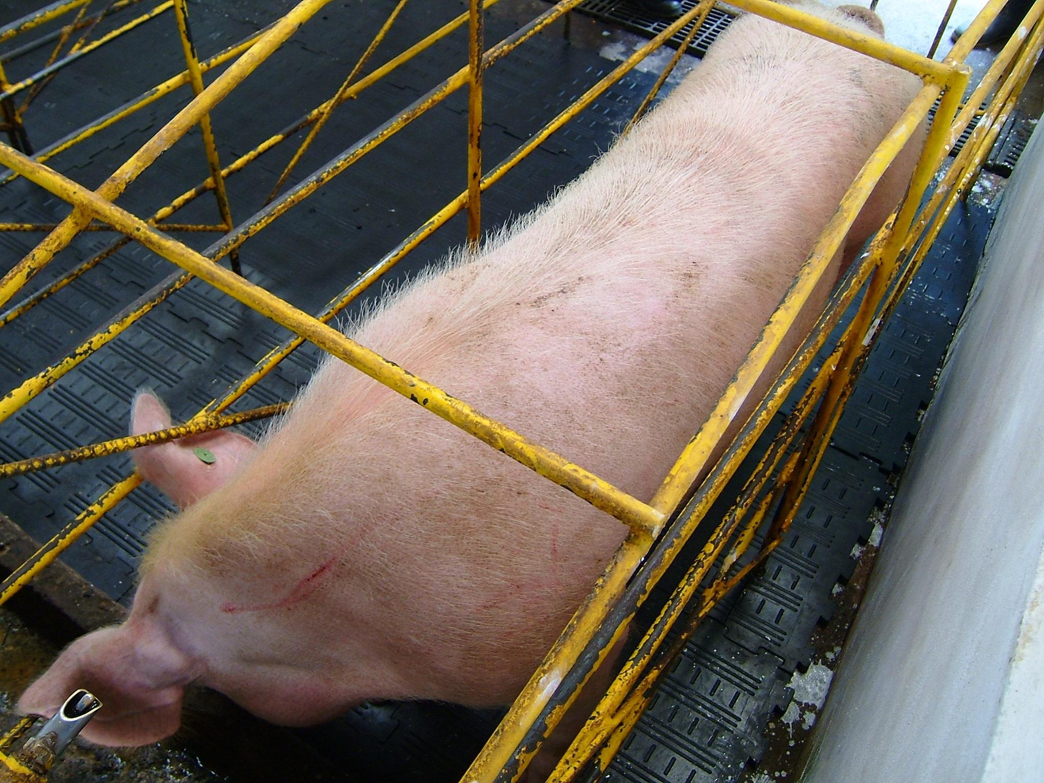 Piso Caucho Goma Caballeriza Equinos Ganaderia Ganado Vacas Porcinos Porqueriza Cerdos Establo Sala Ordeño Espera Cirugia Gestacion